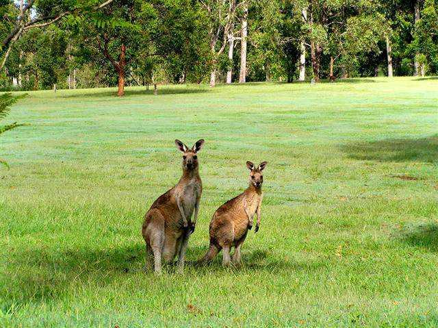 Kangaroos at Grafton District Golf Club