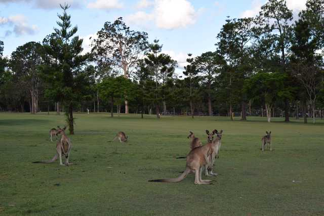 Kangaroos at Gailes Golf Club