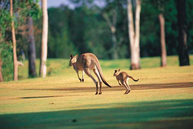 Gainsborough Greens kangaroos