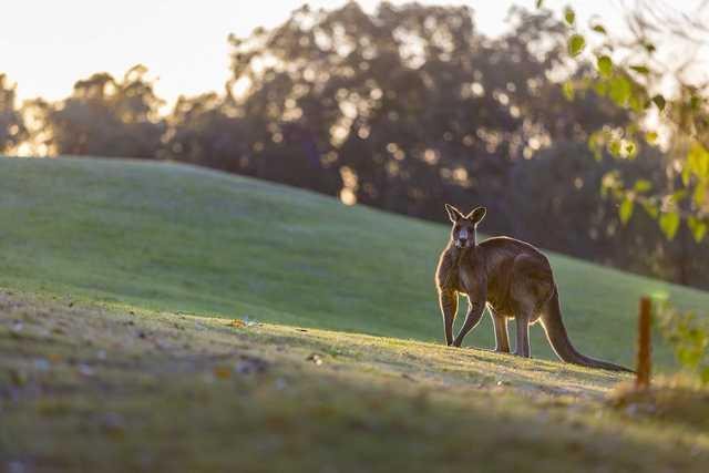 Cypress Lakes kangaroo