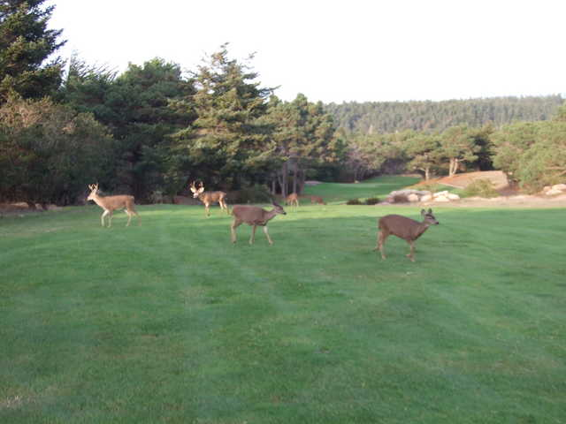 You'll see more deer at Sea Ranch Golf Links than you can imagine.
