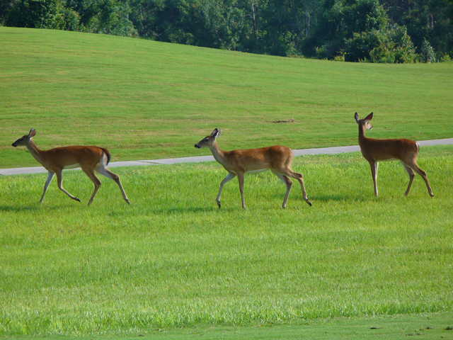 Harmony Golf Preserve: Wildlife