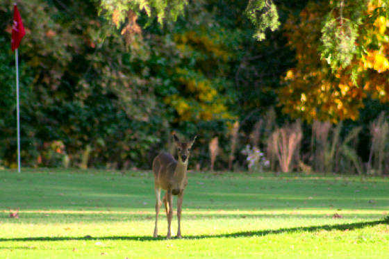 A view of a hole guarded by a deer at Pine View Golf Course