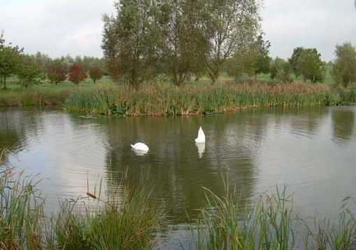 Swans on the water hazard at Long Sutton Golf Club