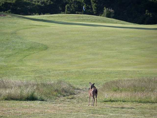 A view of a green with a deer in foreground at Crystal Springs Golf Course.