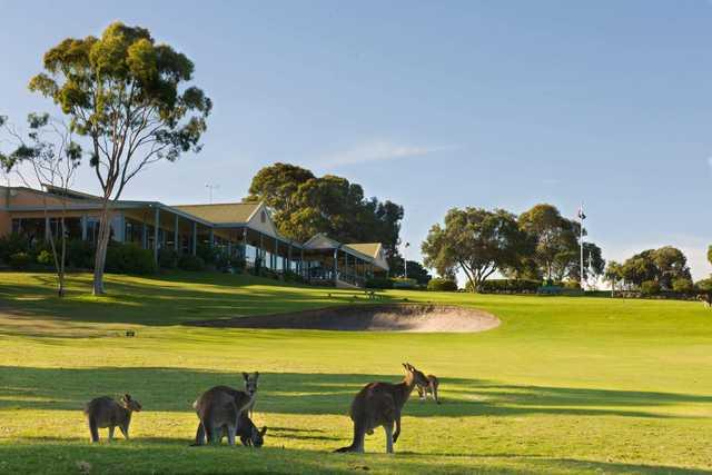 Kangaroos on the 18th at Anglesea Golf Club