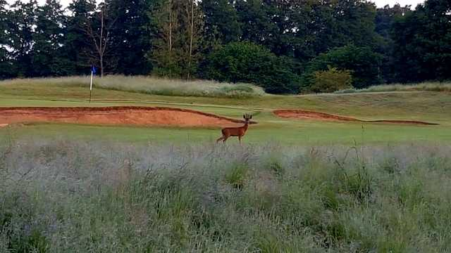 Deer at Hurtmore Golf Club.